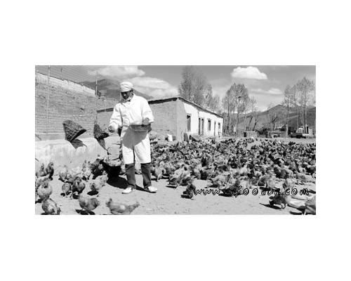 藏鸡养殖成为农牧民致富之路