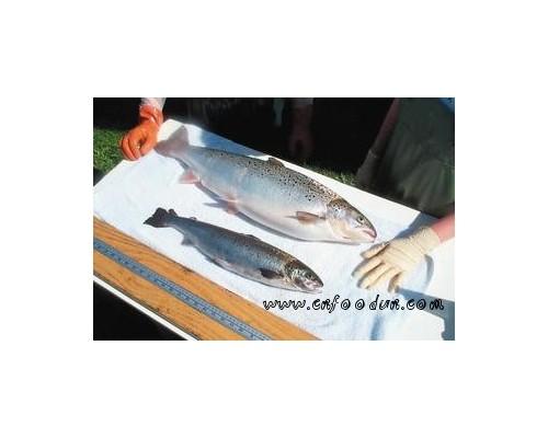 美国有望批准上市转基因鲑鱼 反对者吁超市拒卖