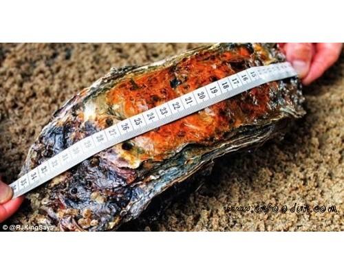 巨型牡蛎长约35.5厘米 或为世界上最大牡蛎