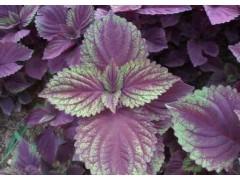 紫苏叶提取物 苏叶提取