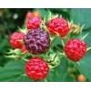 覆盆子提取物 树莓提取物
